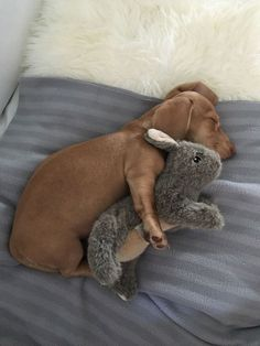 Cute Dachshund dog sleeping with stuffed bunny