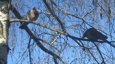 Вяхирь. Дикий Голубь со Своей Голубкой (Dove. Turtledove. Ringdove)