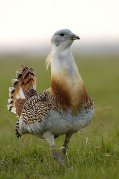 Bustard Portrait (the biggest bird in Hungary)http://animalsofthisworld.tumblr.com/