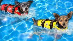 First Dog to Finish Swimming Race Wins! PawZam Dogs Rebecca Zamolo, Life Jackets, Swim Lessons, It Is Finished, Swimming, Racing, Dogs, Swim, Running