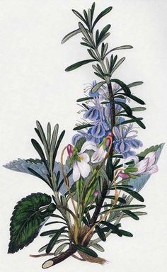 William Clark: Rosemary and Violets