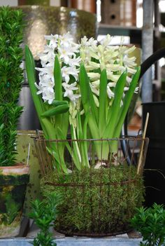 Hyacinths - forced - placed low in pot to support the big leaves & large flowering stalk.