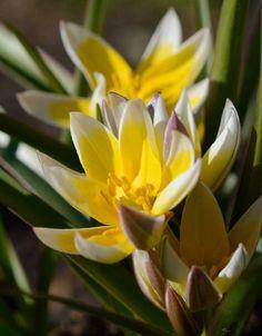 Tulipa Tarda Plants, Tulip, Tulip Bulbs, Planting, Seeds, Plant, Planets