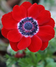 Lilies-of-the-Field, Poppy Anemone 'Hollandia' (Anemone coronaria)