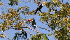 Tucanos viram atração em quintal de professor de Tapiratiba SP