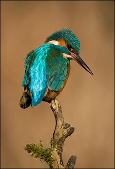 A common kingfisher (Alcedo atthis) looking for prey. This beautiful bird with iridescent blue feathers is distributed across Eurasia and North Africa. Common Kingfisher, Kingfisher Bird, Most Beautiful Birds, Pretty Birds, Exotic Birds, Colorful Birds, All Birds, Love Birds, Beautiful Creatures