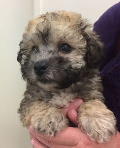 Poochon puppy at 8 weeks of age. Poochon Puppies, Poodle Cross Breeds, Dog Crossbreeds, Dogs, Animals, 8 Weeks, Image, Babies, Bestfriends