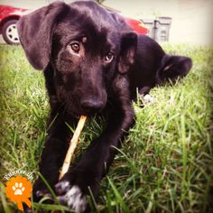 "Runner Up. Jax, adopted from Lawrence Humane Society - Lawrence, KS: ""Jax is a stick lovin canine! Those eyes melt my heart every day!"""
