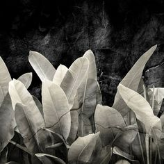 Botanical Wallpaper, Plant Leaves, Wallpapers, Plants, Pictures, Black Wallpaper, Photo Wallpaper, Wallpaper, Plant