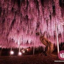 As fotos deslumbrantes obtidas por diferentes fotógrafos parecem eternizar uma estranha chuva de flores rosa e lilás. Na verdade, elas captam a floração de uma  Wisteria (ou Wistaria) com 144 anos de idade e que se encontra no Ashiwaga Flower Park (Japão). Acredita-se que este exemplar nem seja o maior do mundo, ainda que ocupe inacreditáveis 176 m2 e esteja lá enfeitando o espaço desde 1870.  #primaveragarden #plantas #flores #garden #jardim