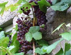 plantar uva 2