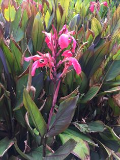 Cordyline australis example of types of variegation cool find this pin and more on balnarring beach garden by ann fink thecheapjerseys Gallery