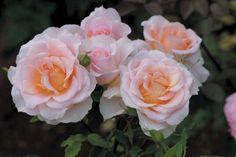Heirloom Rose 'Desirée™'