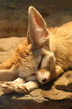 Fennec Fox: you have a distinctive look, and are not a picky eater.