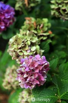 The Simple Way to Dry Hydrangea Flowers and Retain Their Color