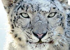 Snow Leopard Photos   Snow Leopard gratis til MobileMe-kunder