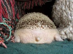 How adorable is that tiny tail on that chubby hedgehog? Cute Little Animals, Cute Funny Animals, Funny Cute, Pygmy Hedgehog, Cute Hedgehog, Cute Creatures, Beautiful Creatures, Dou Dou, Pet Birds