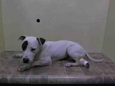 SUPER URGENT 3/22/14 Manhattan Center   PHOENIX - A0994608   FEMALE, WHITE / BR BRINDLE, PIT BULL MIX, 1 yr STRAY - STRAY WAIT, NO HOLD Reason STRAY  Intake condition INJ MINOR Intake Date 03/22/2014, From NY 10457, DueOut Date 03/25/2014,  https://www.facebook.com/photo.php?fbid=775919525754262&set=a.617942388218644.1073741870.152876678058553&type=3&theater