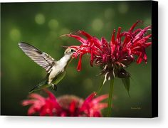 Hummingbird Indulgence Canvas Print by Christina Rollo.  All canvas prints are professionally printed, assembled, and shipped…