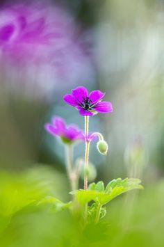 Spring Geranium Sarah-fiona Helme