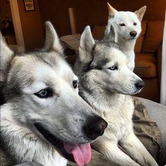 2 Huskies and a Shiba....