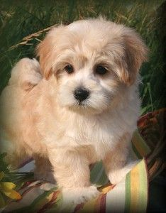 havanese puppies for sale in michigan