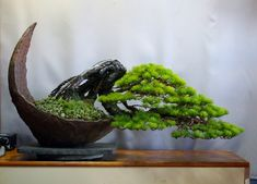 exposed root Japanese white pine - styled by amemiyaen