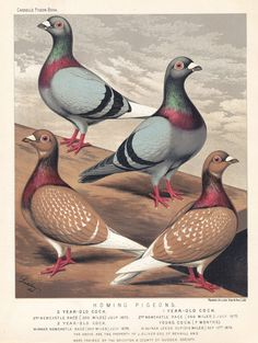 Homing Pigeons, 	Chromolithograph Dated	1880's
