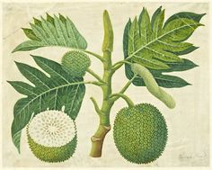 Artocarpus altilis is a species of flowering tree in the mulberry family, Moraceae, growing throughout Southeast Asia and most Pacific Ocean islands.