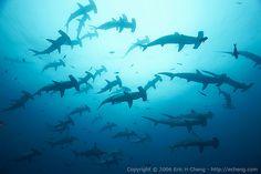 Darwin's Arch, Galapagos~hammerhead sharks!