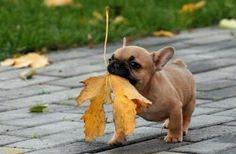 Frenchie rakes leaves
