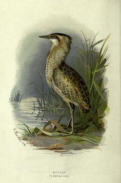 https://flic.kr/p/dzfNj5 | n25_w1150 | Familiar wild birds /. London ; New York :Cassell,1883.. biodiversitylibrary.org/page/23905759