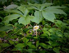 The mayapple had an important place in the primitive medicine of the Native Americans & early settlers. The plant was used to treat certain warts & the roots were used to treat jaundice, fever, liver ailments, & syphilis. The mayapple is still used today in folk medicine in some areas of the Appalachian Mountains. A tea  made from the roots is used to treat constipation. Source: USDA Forest Service Publication, October 6, 1973.