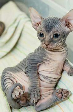 Sphynx. OMG I want one so bad!! Why do they have to be so expensive :( O gato Sphynx não é totalmente sem pêlo, mas tem uma cobertura de pêssego, que é suave e quente ao toque. Descubra mais sobre o gato Sphynx aqui.