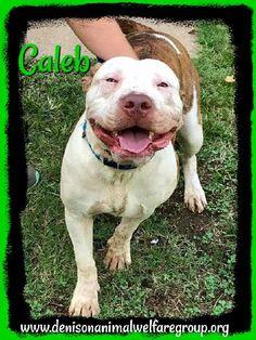 American Pit Bull Terrier dog for Adoption in Denison, TX. ADN-730820 on PuppyFinder.com Gender: Male. Age: Adult