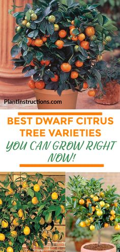 f you like the idea of growing your own fruits, you'll love these dwarf citrus trees that can be easily grown right in your backyard! Bonsai Fruit Tree, Dwarf Fruit Trees, Trees To Plant, Kumquat Tree, Citrus Trees, Fruit Garden, Edible Garden, Herbs Garden, Tropical Garden