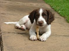 English Springer Spaniel puppy.