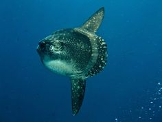 Scuba diving Bali Nusa Lembongan (mola mola) They are present July thru October. (50 Places to dive book)