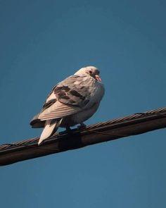 見返り美鳩。   #pigeon #bird #鳩 #鳥