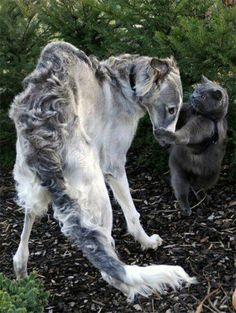 Perhaps its because I am not Russian but even body language isn't translating what's up between this Borzoi and Russian Blue!