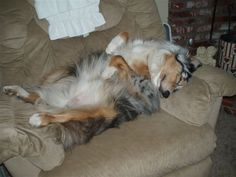 One of Phoebe's favorite positions Australian Shepherd Training Tips