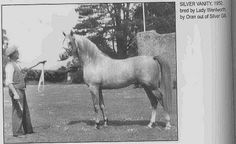 SILVER VANITY #22555 (Oran x Silver Gilt, by Indian Gold) 1950-1979 grey stallion bred by Crabbet; imported to the US 1962 by Bazy Tankersley & Charles Prange. Sired 218 registered purebreds in the US.