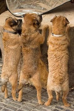 Look at those border bums :) Dog Photos, Dog Pictures, I Love Dogs, Cute Dogs, Border Terrier Puppy, Boston Bull Terrier, Patterdale Terrier, Best Dog Breeds, Happy Puppy