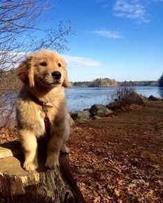 This pup who just likes to pose majestically for photos: | 23 Golden Retriever Puppies That'll Remind You There Are Still Good Things In This World