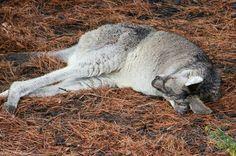 One very tired Eastern Grey Kangaroo