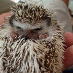 """""""Leave me alone, I need to sleep"""" #hedgehog"""