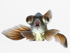 Photographic Print: Black Moor Goldfish (Carassius Auratus) by Don Farrall : Baby Goldfish, Fantail Goldfish, Colorful Fish, Tropical Fish, Freshwater Aquarium, Aquarium Fish, Poisson Combatant, Koi Betta, African Cichlids