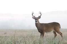 Love to see deer in the Smokies