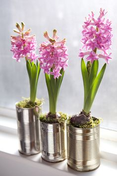 Plant's for Valentine's Day: hyacinth 'Prince of Love' planted recycled tin cans. Photo by Sarah Cuttle. Find out how to grow it here: http://www.gardenersworld.com/plants/hyacinthus-orientalis-prince-of-love/1058.html