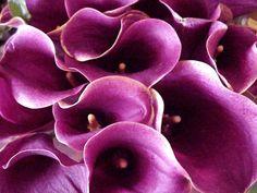 plum cala lilies
